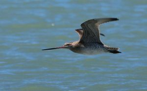 Bay liên tục 13.000 km không cần nghỉ, loài chim 'máy bay phản lực' lập kỷ lục vô tiền khoáng hậu